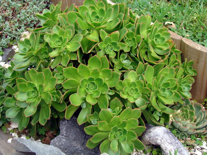 Aeonium Rangitoto